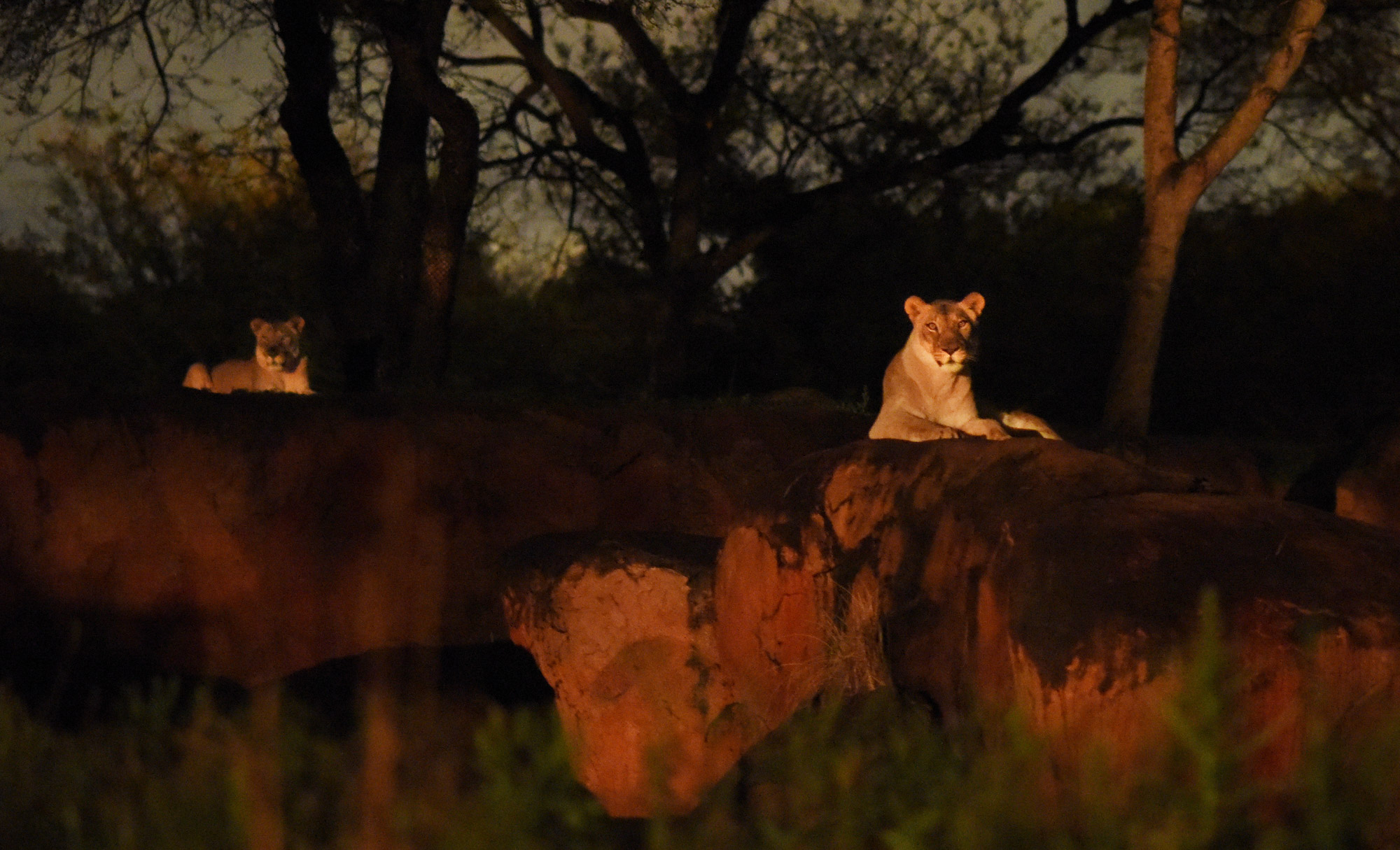 Each evening, the popular Kilimanjaro Safaris daytime experience is artfully bathed in the glow of sunset with special lighting allowing guests to explore this Disney's Animal Kingdom attraction well into the night. During the expedition, guests can now encounter the nighttime behavior of the wildlife and better tune in to the unique vocalization of the animals. (Todd Anderson, photographer)